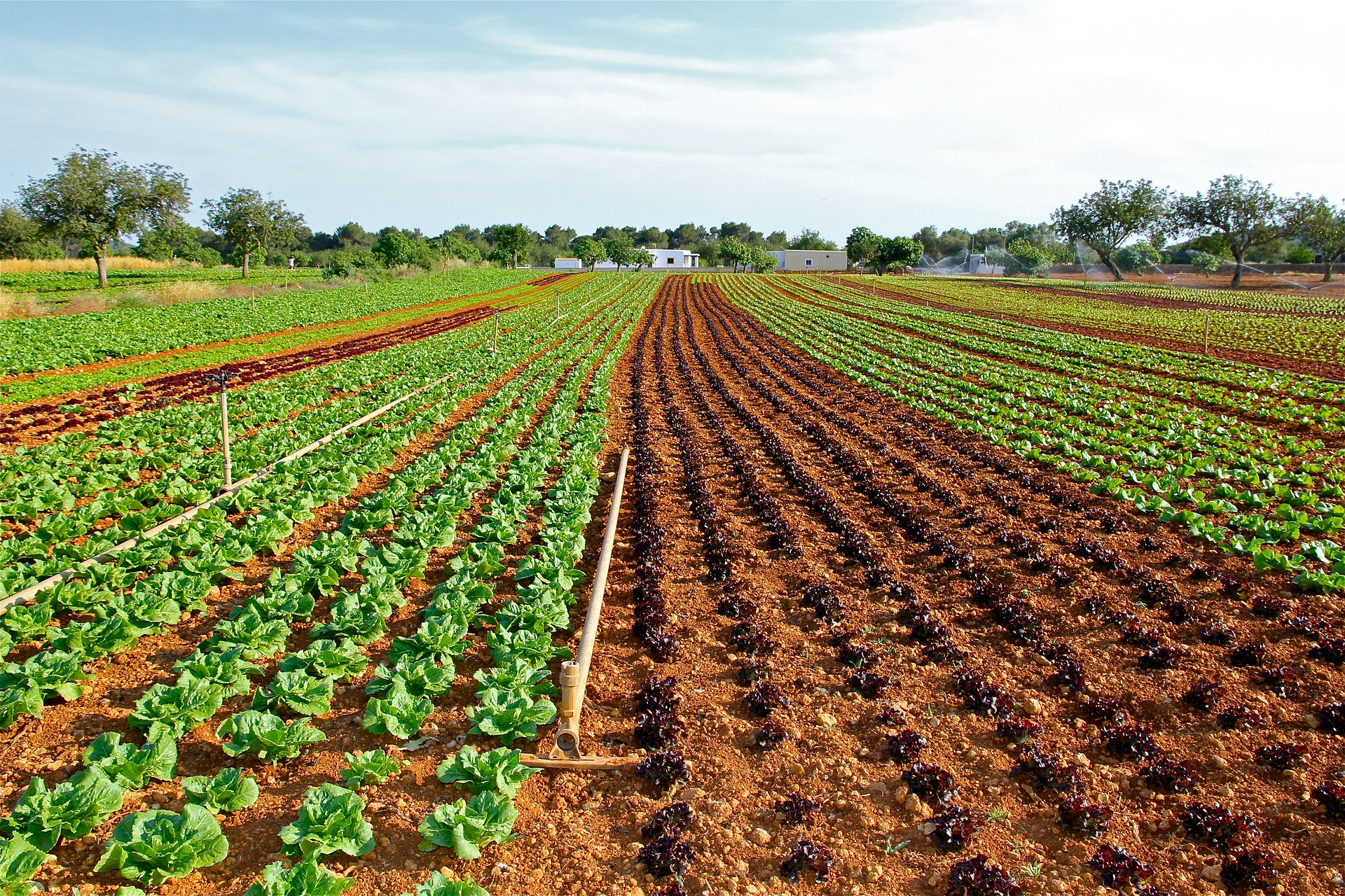 Farm with rows of different vegetables growing.